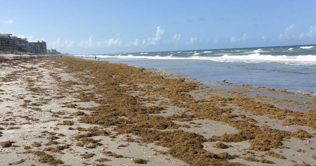 sargassum seaweed - surf fishing